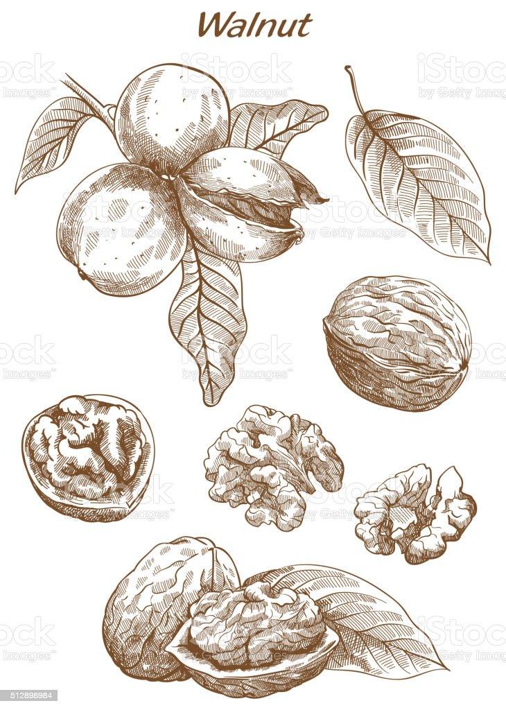 walnut set of sketches vector art illustration