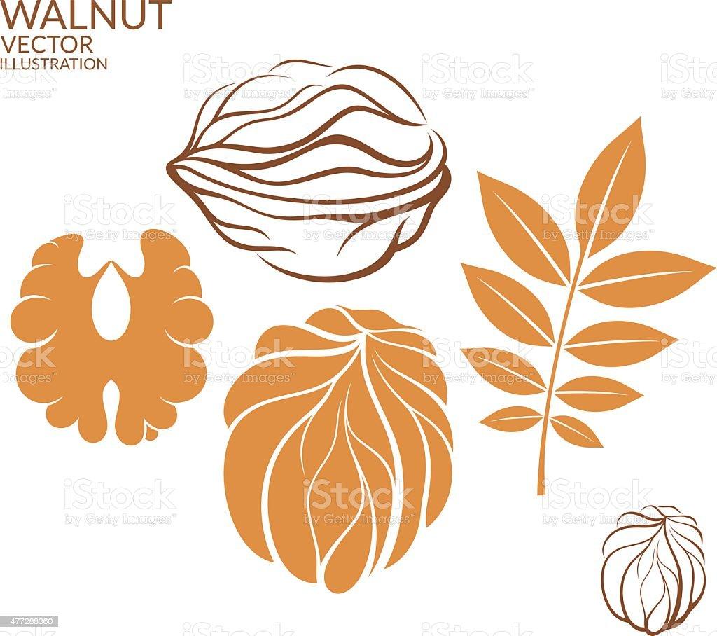 Walnut. Set vector art illustration