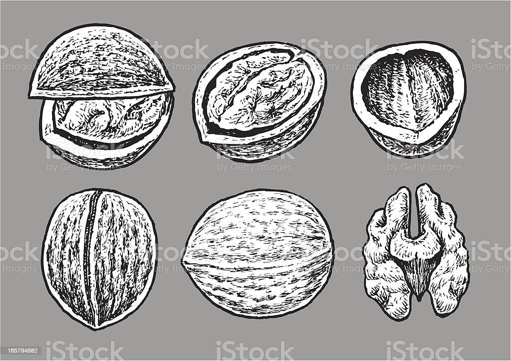 Walnut royalty-free stock vector art