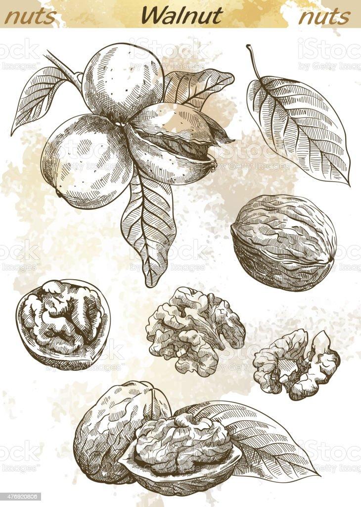 walnut vector art illustration