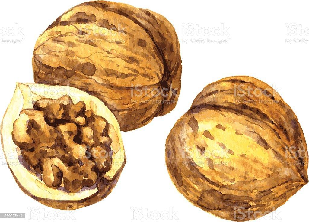walnuts drawing by watercolor vector art illustration