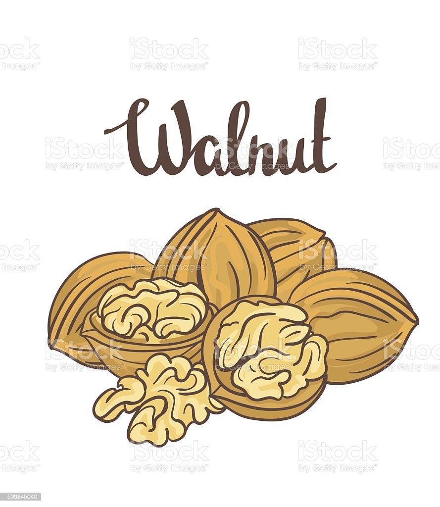 Walnuts isolated on white background. Cartoon Vector label. vector art illustration
