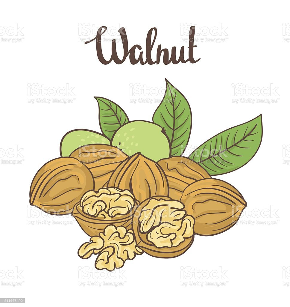 Walnuts isolated on white background. vector art illustration