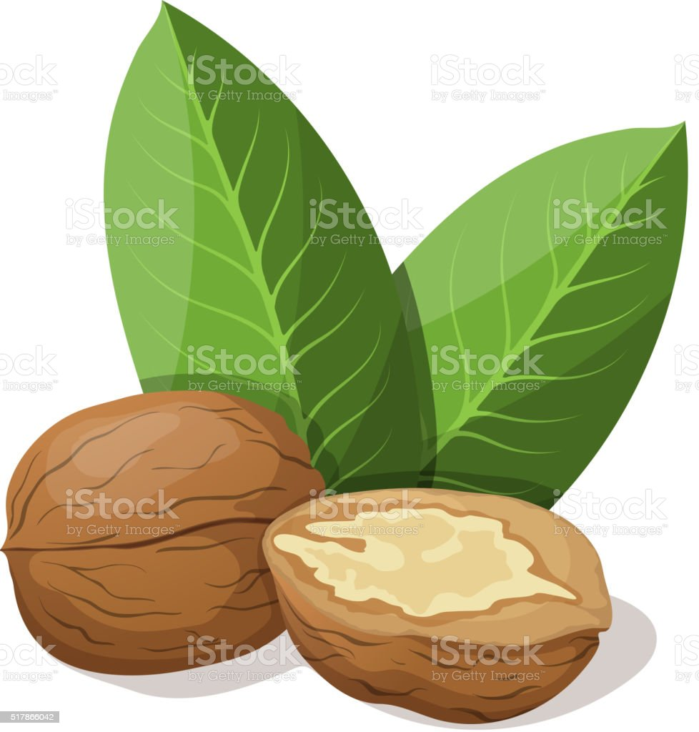 Walnuts with leafs isolated on white. Vector illustration. vector art illustration