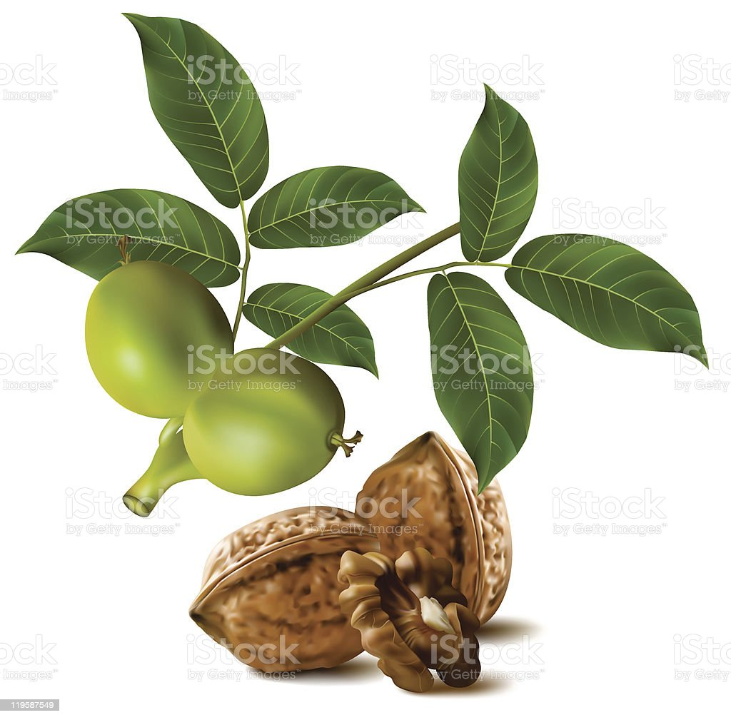 Walnuts with leaves and branch of green walnut royalty-free stock vector art