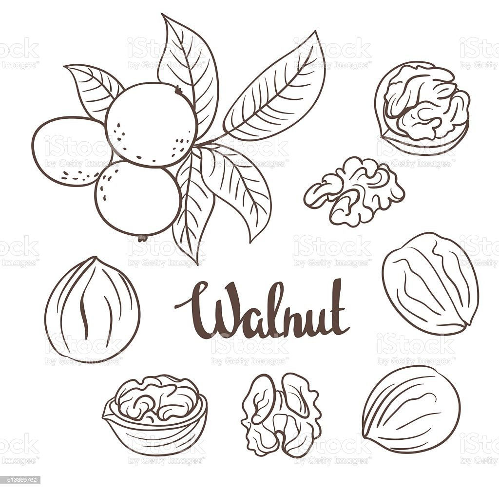Walnuts with leaves and walnuts isolated on a white background vector art illustration