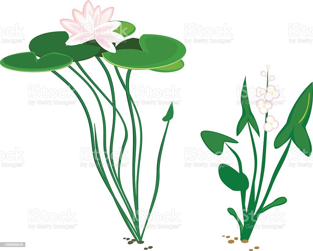 water plant duck potato and water lily vector art illustration