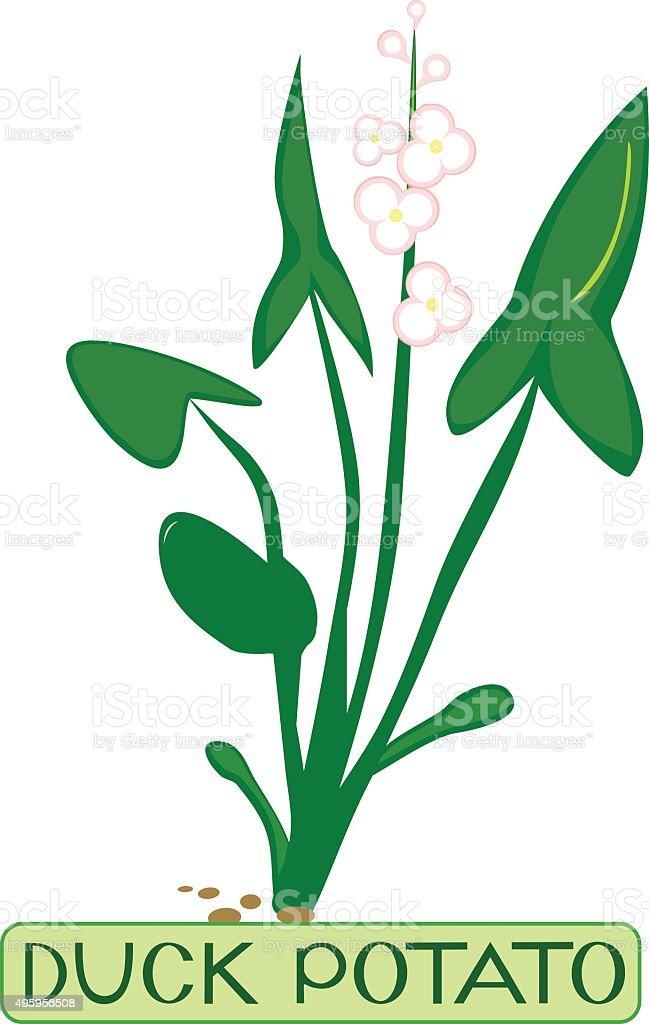 water plant duck potato (sagittaria) vector art illustration