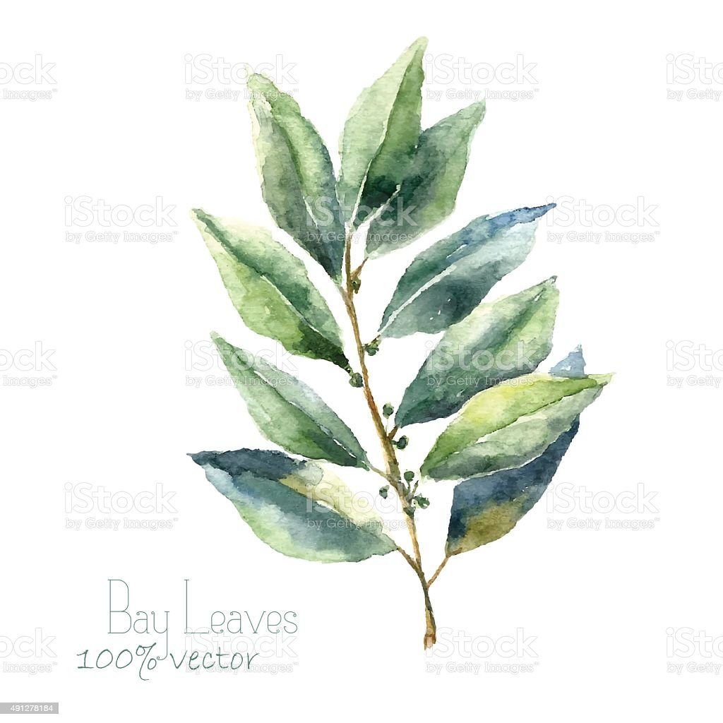 Watercolor bay leaf. vector art illustration