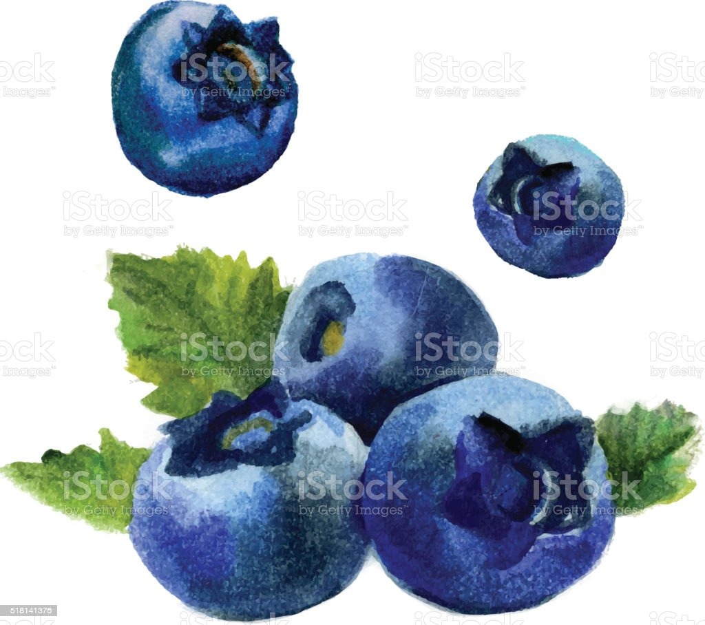 Watercolor blueberry isolated vector art illustration
