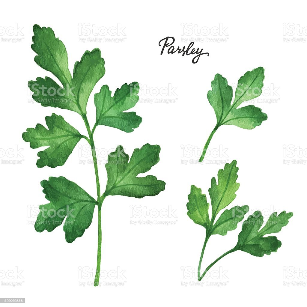 Watercolor branches and leaves of parsley. vector art illustration