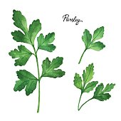 Watercolor branches and leaves of parsley.