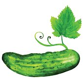 Watercolor cucumber with green leaf