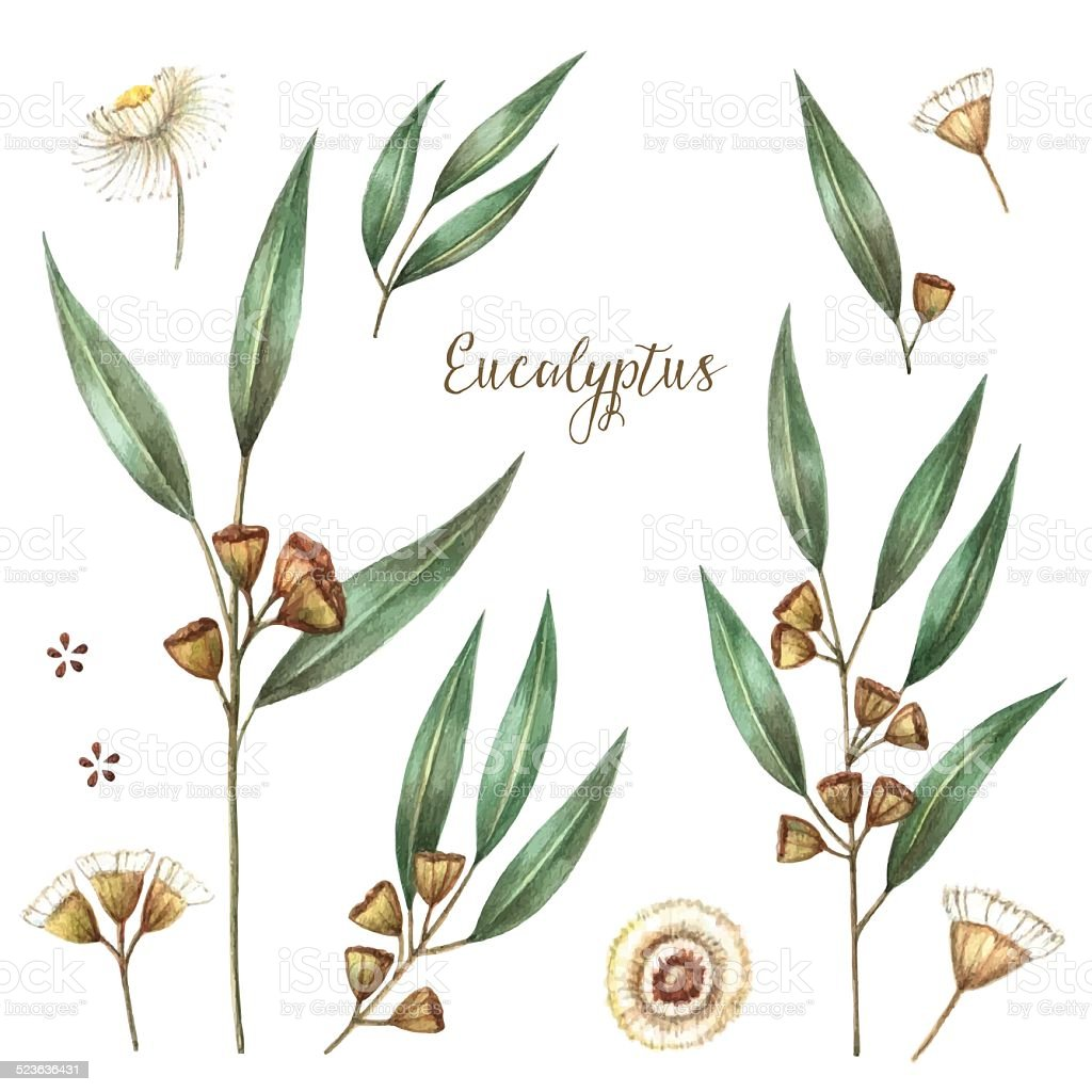 Watercolor eucalyptus leaves vector art illustration