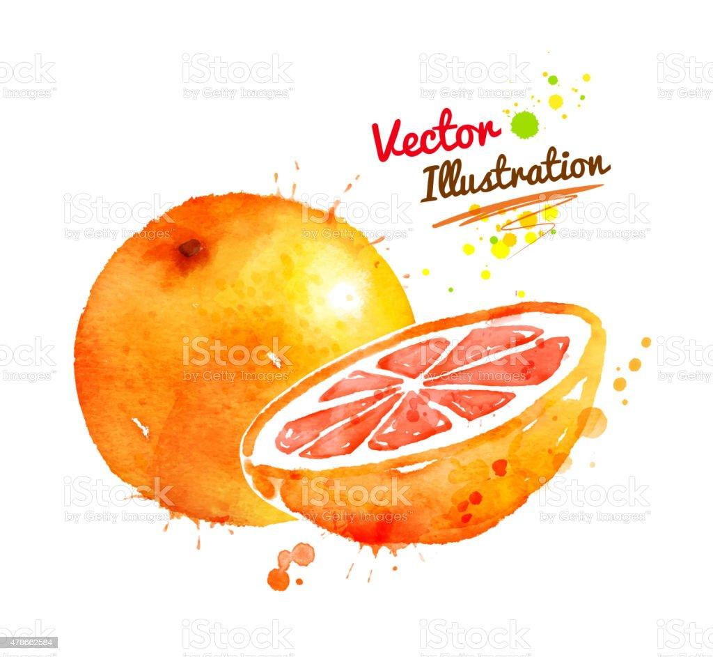 Watercolor grapefruit. vector art illustration