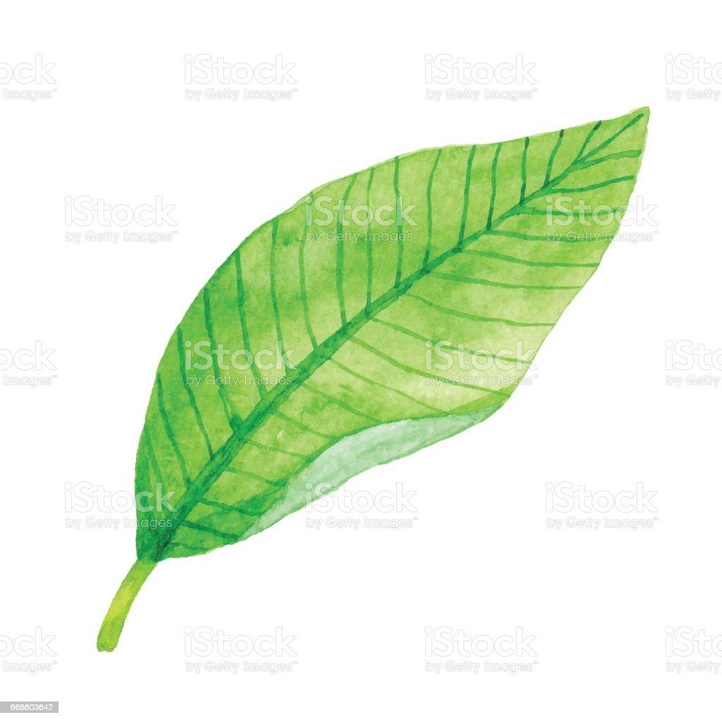 Watercolor Green Leaf vector art illustration