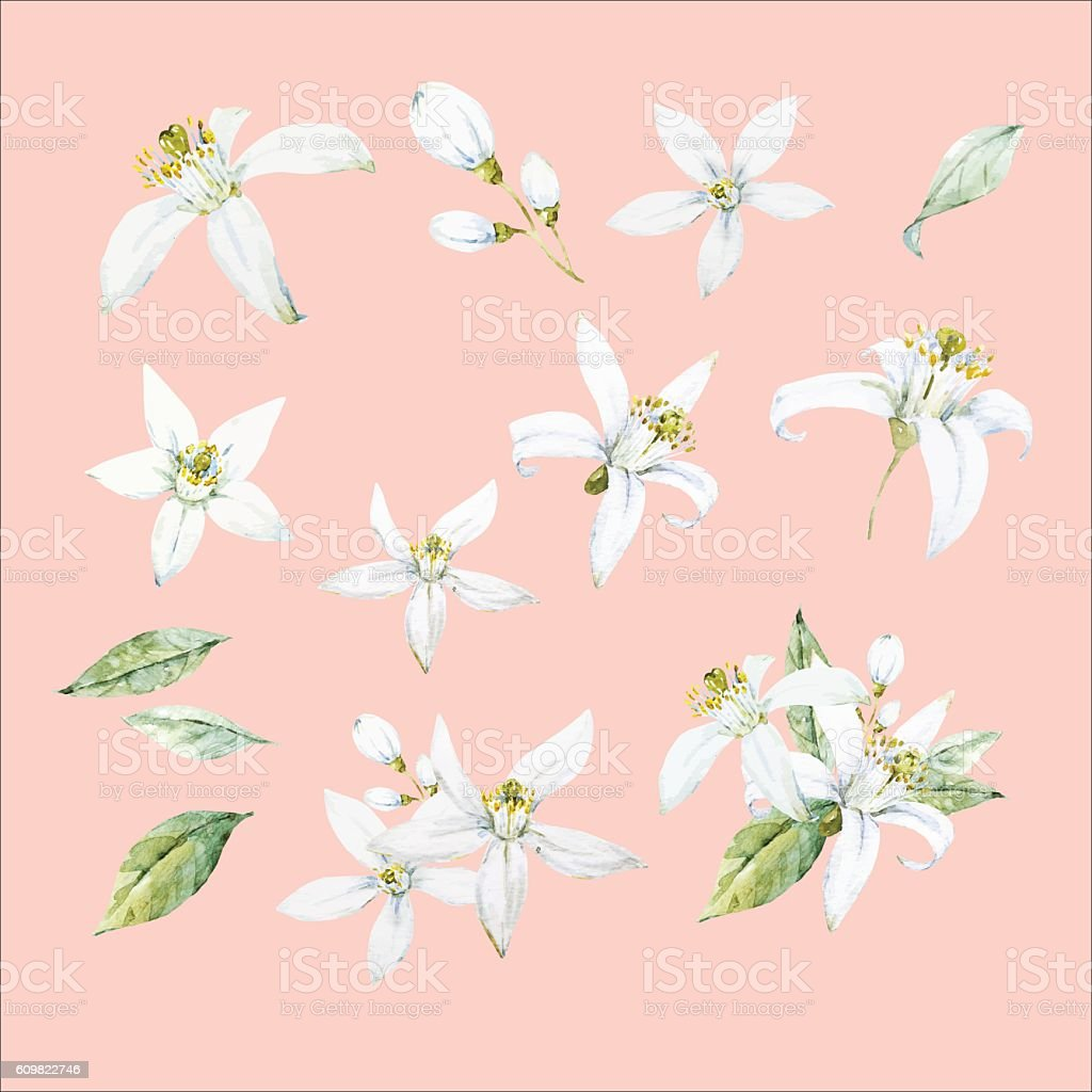 Watercolor hand drawn neroli flowers vector art illustration