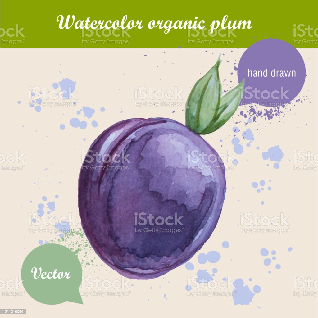 Watercolor hand drawn plum with watercolor drops. vector art illustration