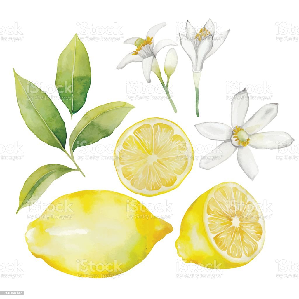 Watercolor lemon collection vector art illustration