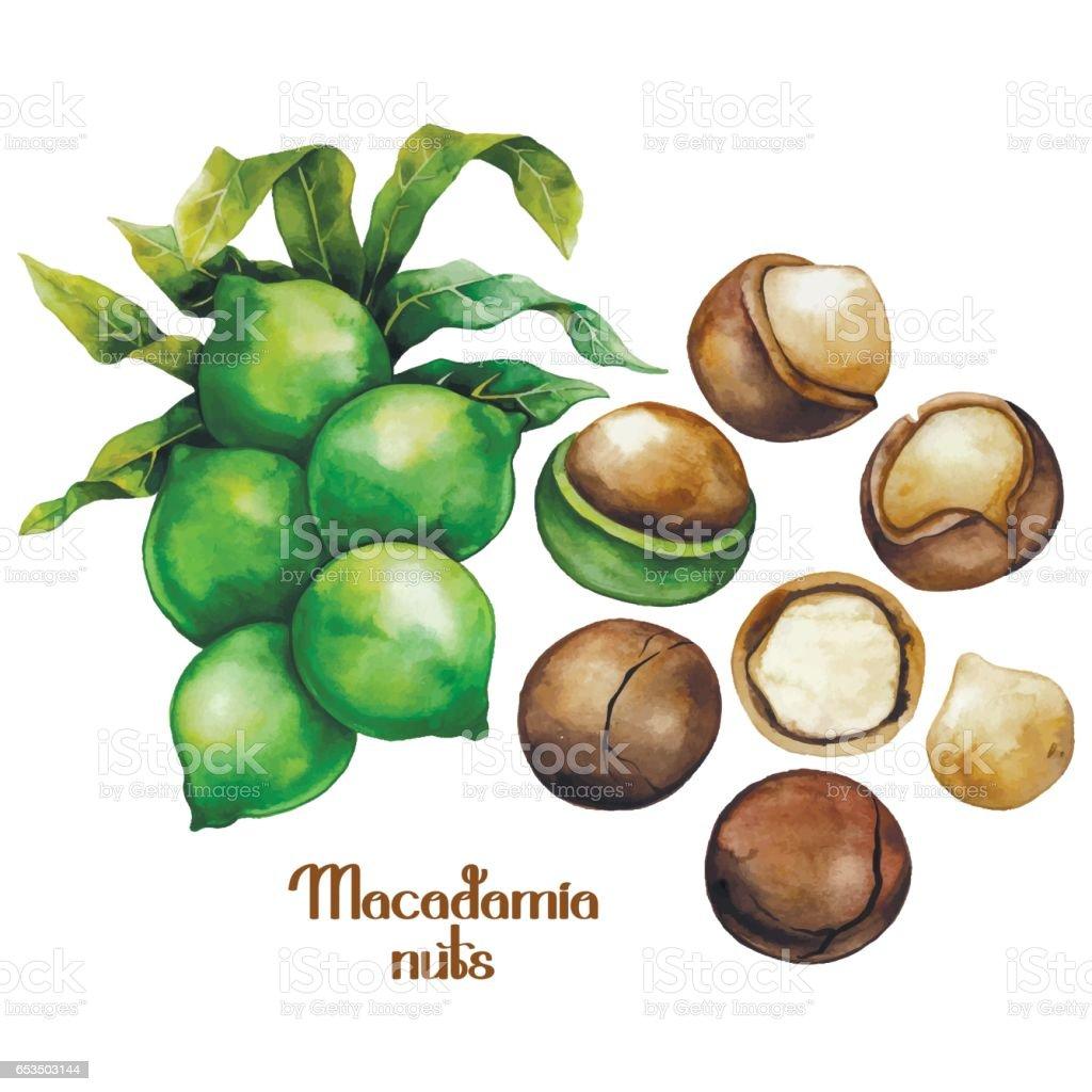 Watercolor macadamia nuts vector art illustration