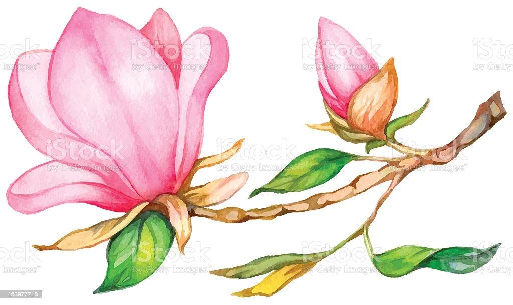 Watercolor magnolia. vector art illustration