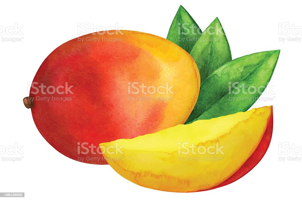 Watercolor mango fruit vector art illustration