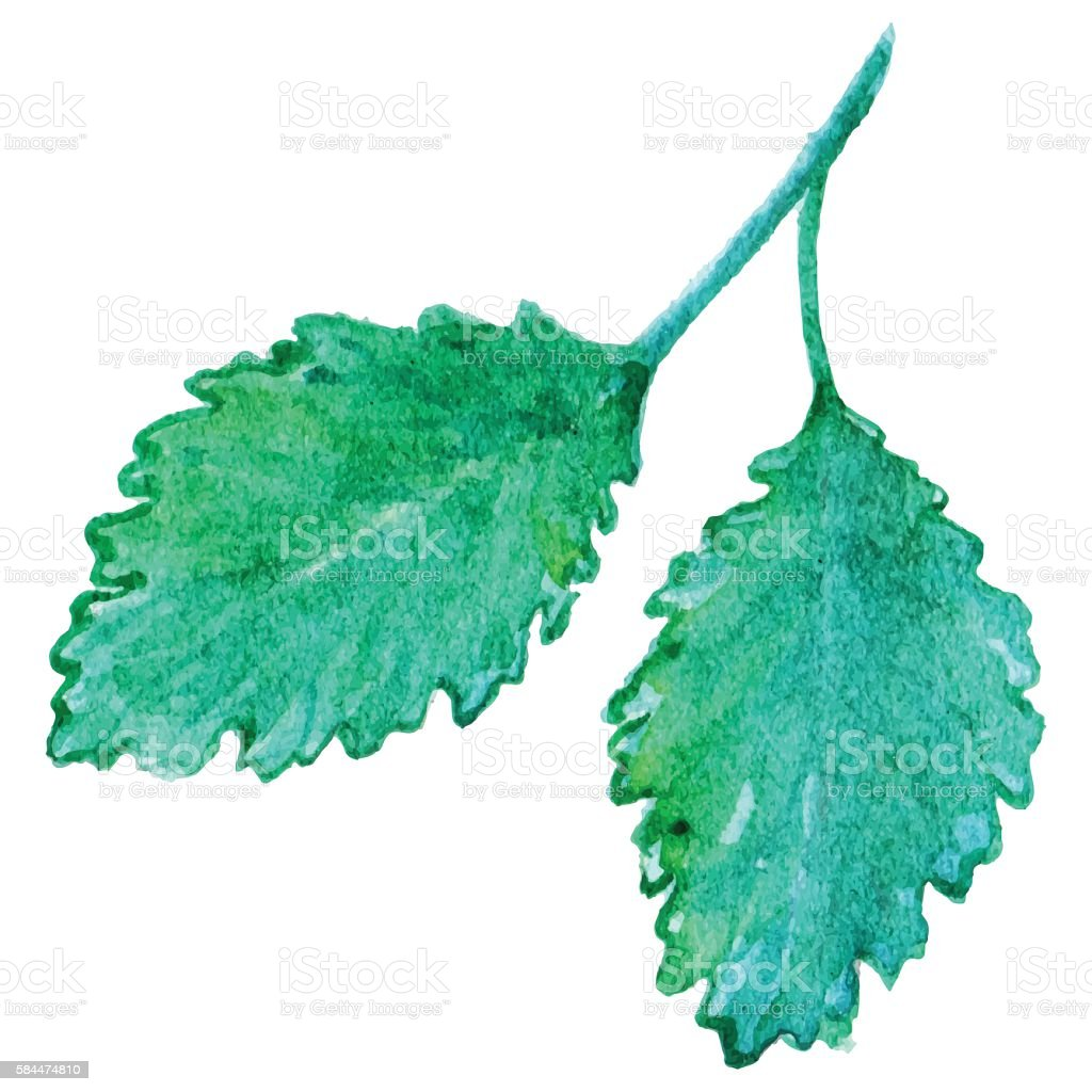 Watercolor mint peppermint spearmint leaf isolated vector vector art illustration
