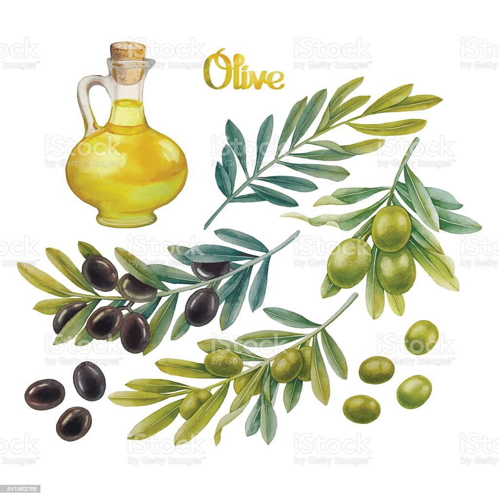 Watercolor olive collection vector art illustration