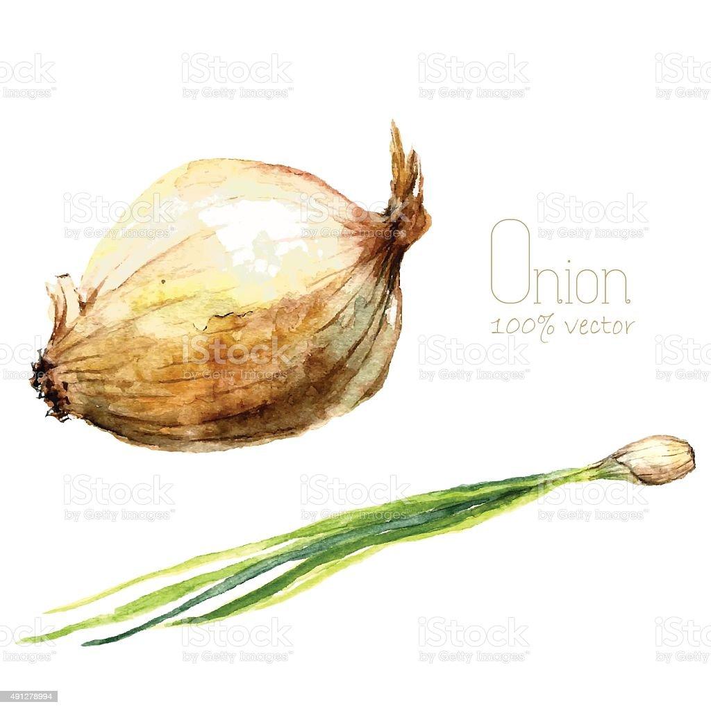 Watercolor onion. vector art illustration