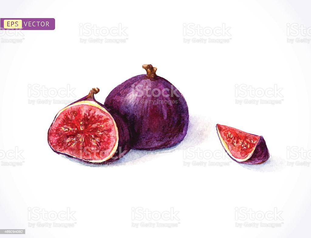 Watercolor painting of 2 figs, one is sliced open vector art illustration
