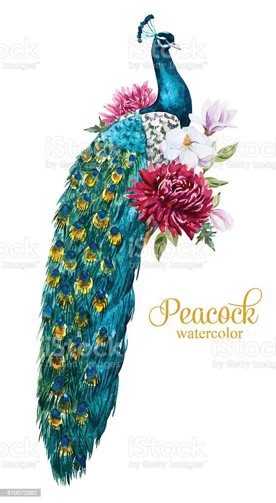 Watercolor peacock with flowers vector art illustration