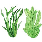 Watercolor seaweed, water plants