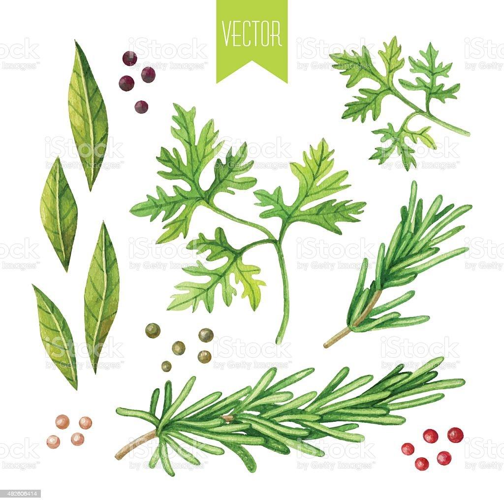 Watercolor set of herbs vector art illustration