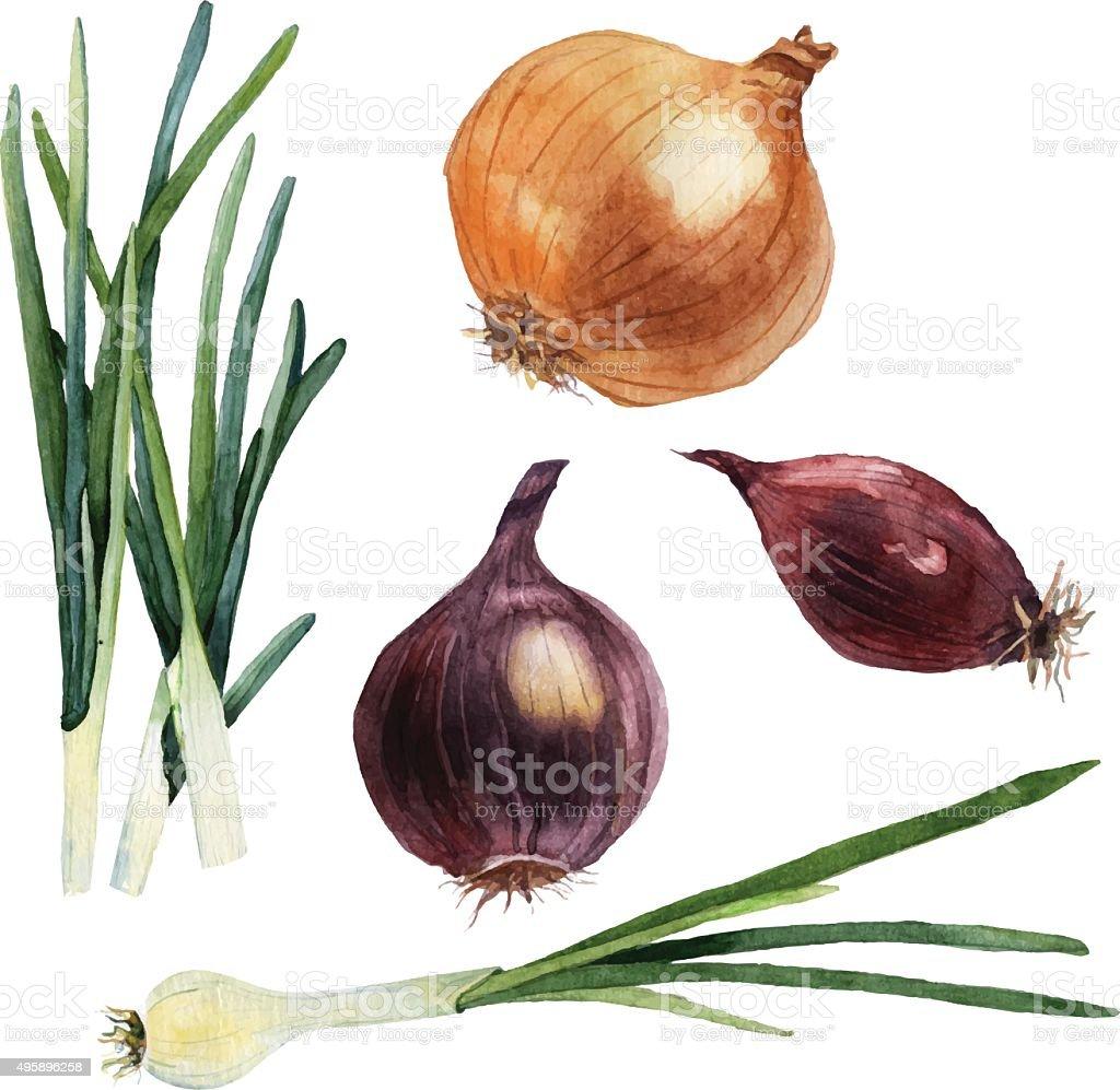 Watercolor set of vegetables. Onions. Vector vector art illustration