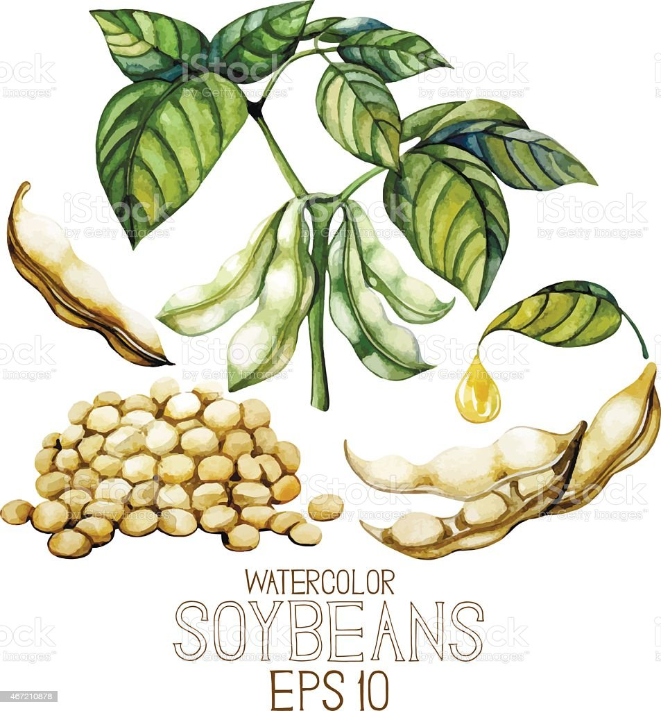 Watercolor soy plants vector art illustration