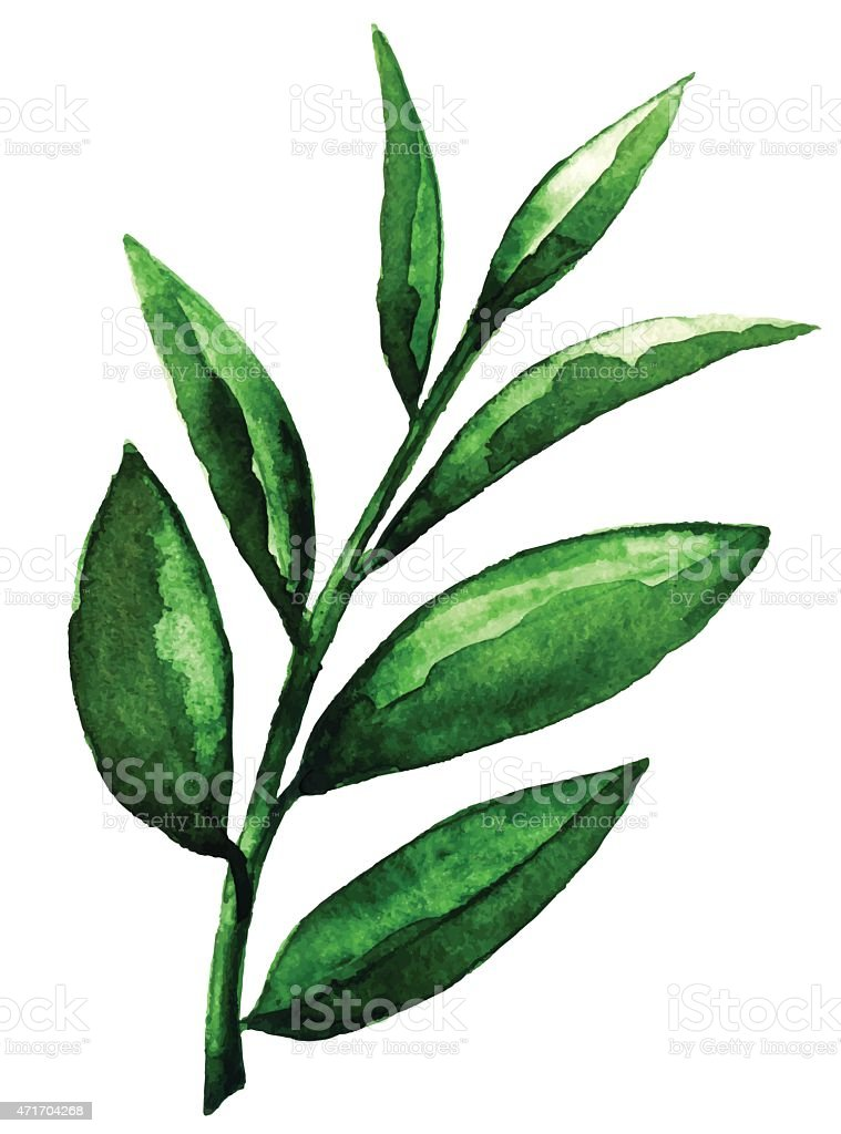 Watercolor tea green leaves closeup isolated vector art illustration