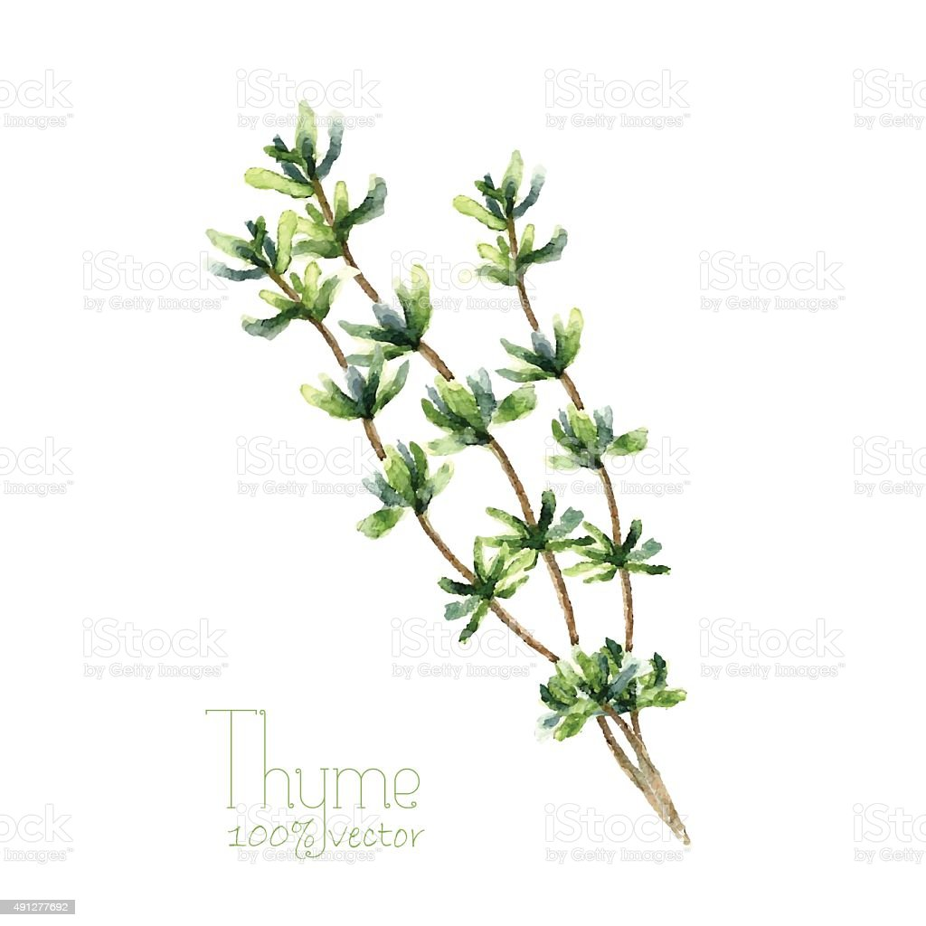 Watercolor thyme. vector art illustration