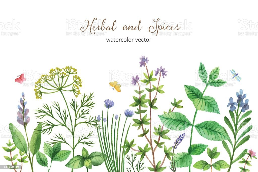 Watercolor vector hand painted banner with wild herbs and spices. vector art illustration