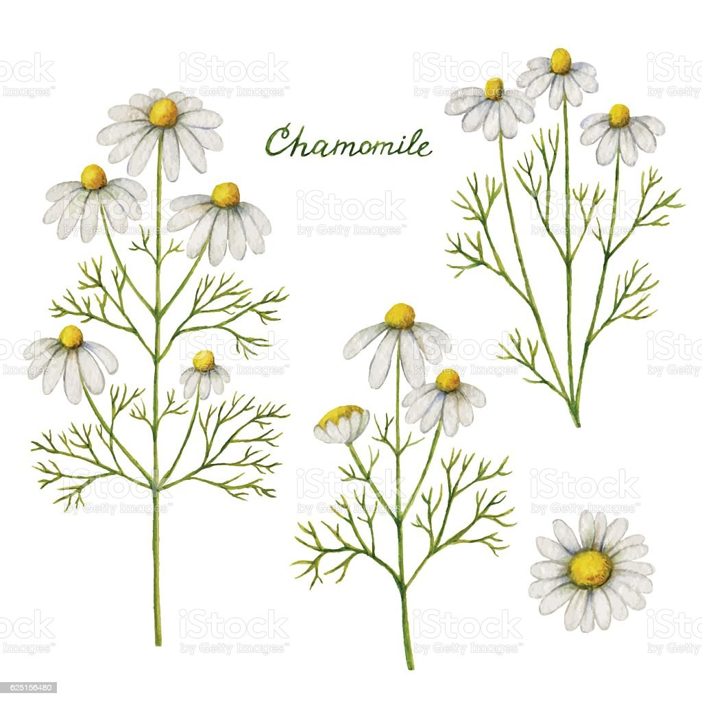 Watercolor vector illustration of chamomile. vector art illustration
