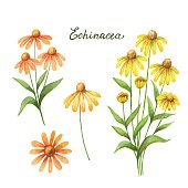 Watercolor vector illustration of echinacea.