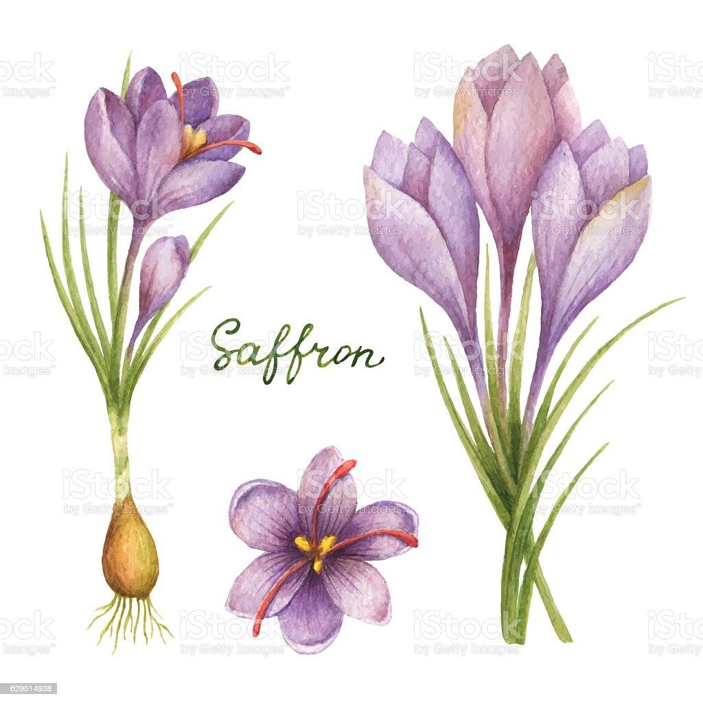 Watercolor vector illustration of saffron. vector art illustration