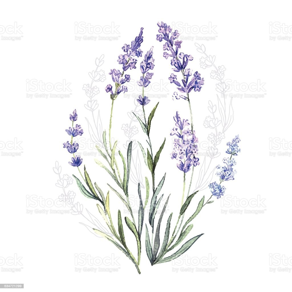 Watercolor vector Lavender vector art illustration