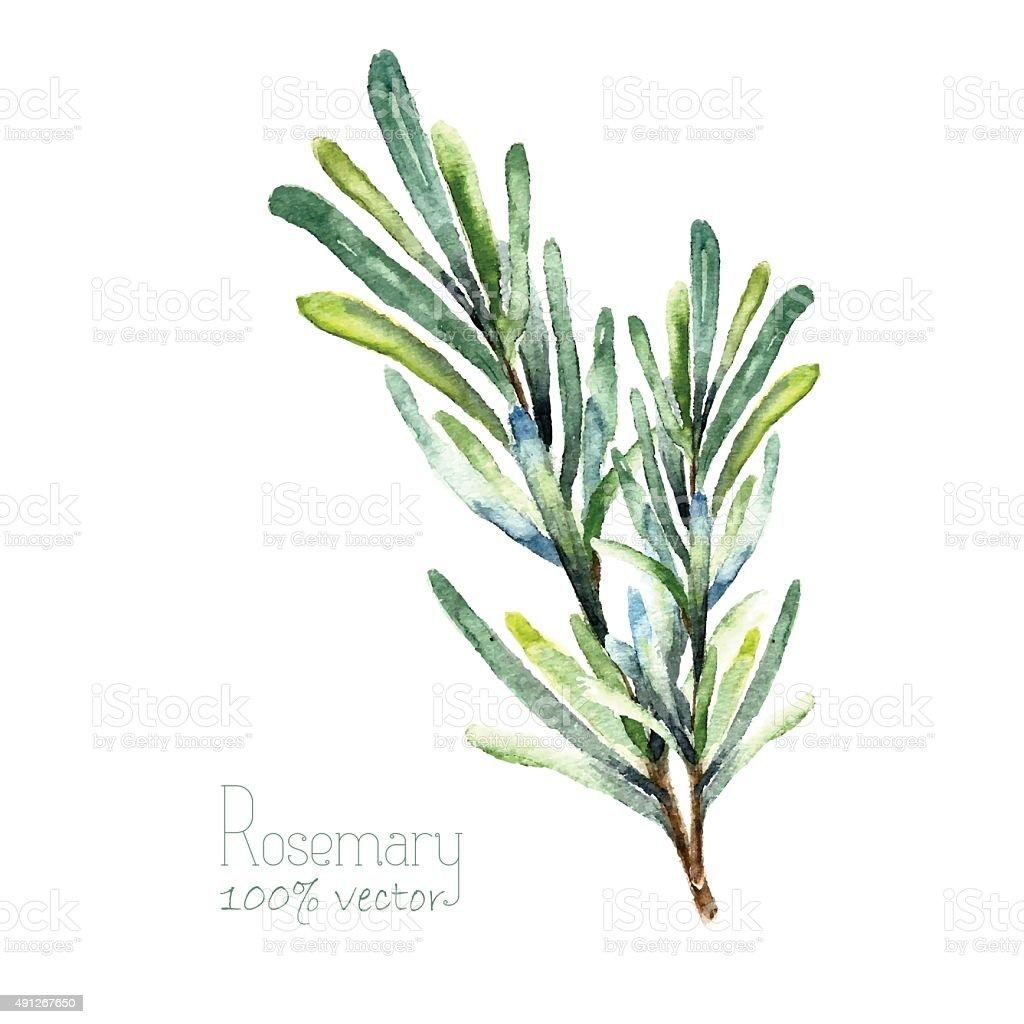 Watercolor vector rosemary vector art illustration