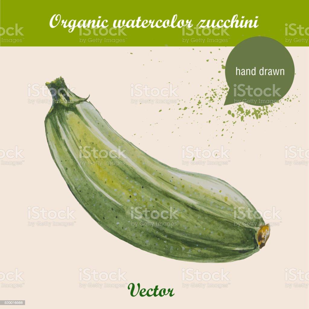 Watercolor zucchini. Hand drawn vector illustration vector art illustration