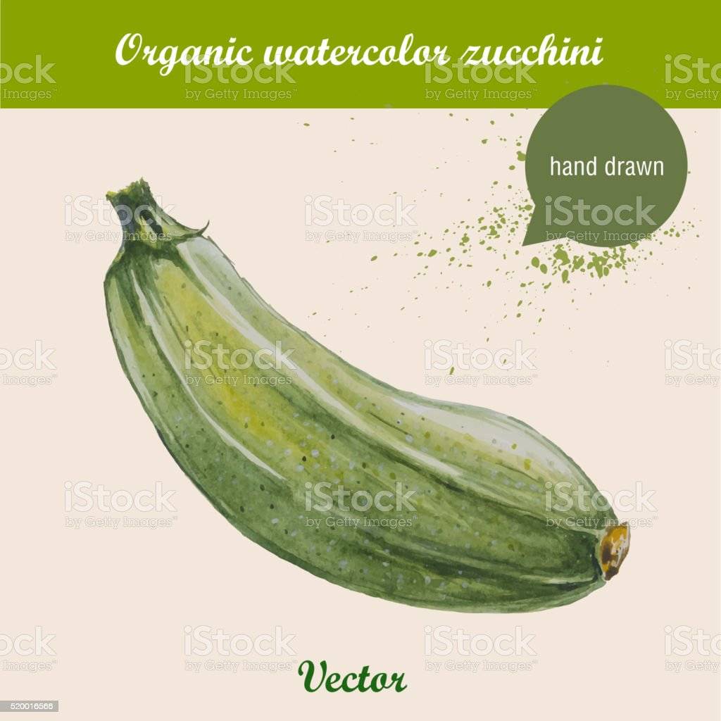 Watercolor zucchini. Hand drawn vector illustration vector art illustration