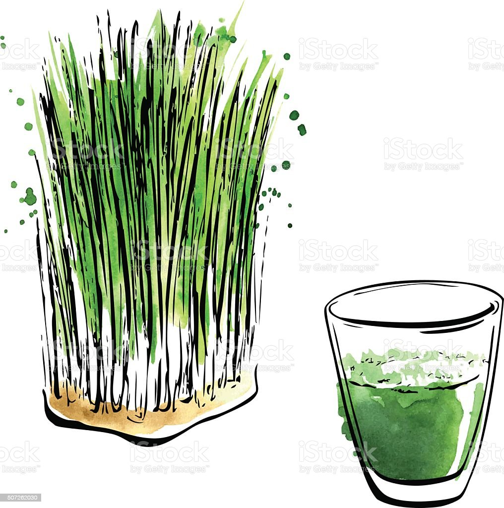 Watercolour illustration of wheatgrass vector art illustration
