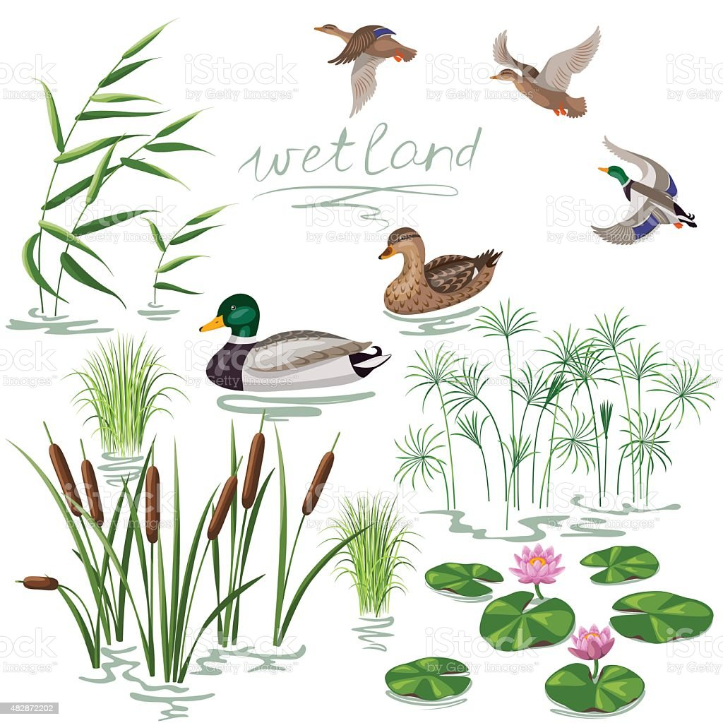 Wetland Plants and Ducks Set vector art illustration