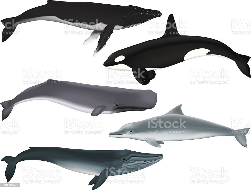 Whales vector art illustration