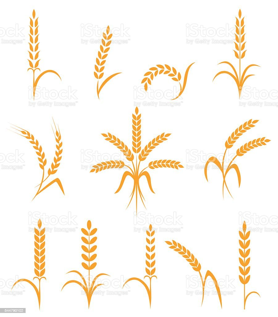 Wheat ears or rice icons set. Agricultural symbols isolated on vector art illustration