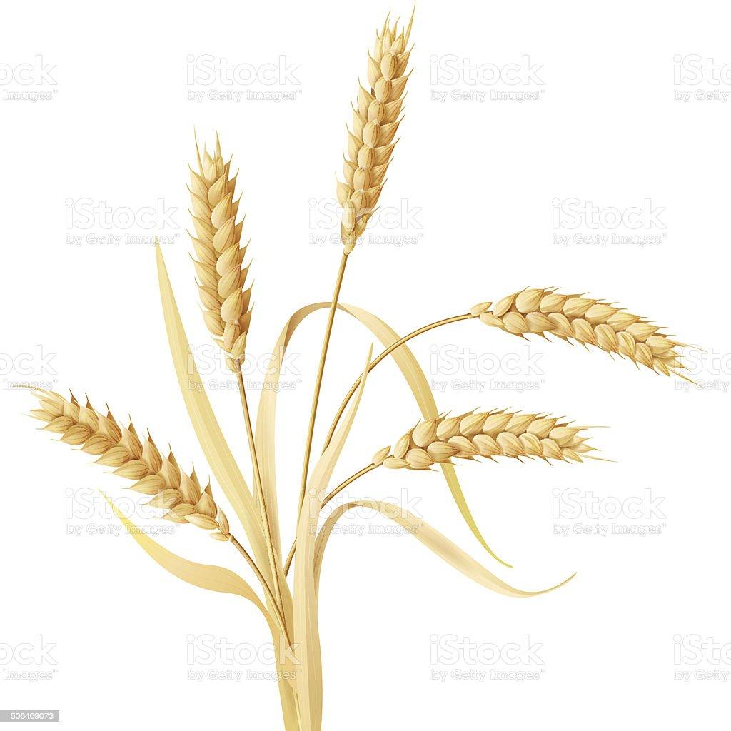Wheat ears tuft vector art illustration